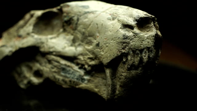 ecu skull on turn table/ muldersdrift/ south africa - archaeology stock videos & royalty-free footage