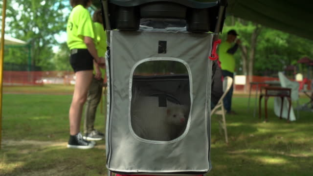 Skunk in an animal stroller