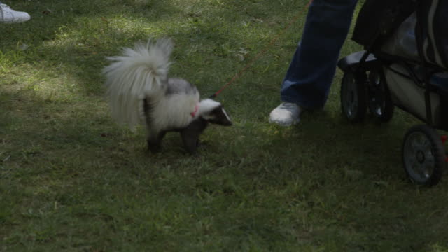 skunk on a leash - gabbietta per animali video stock e b–roll