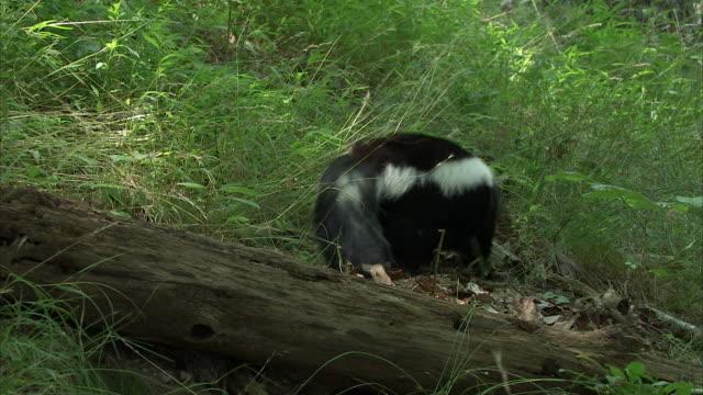 vídeos y material grabado en eventos de stock de a skunk waddles across a grassy forest clearing in the appalachian mountains. - malos olores