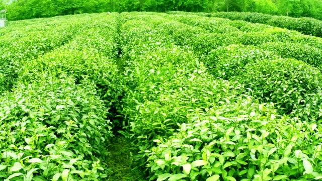 Sky, tea trees,hill and farm, real time.