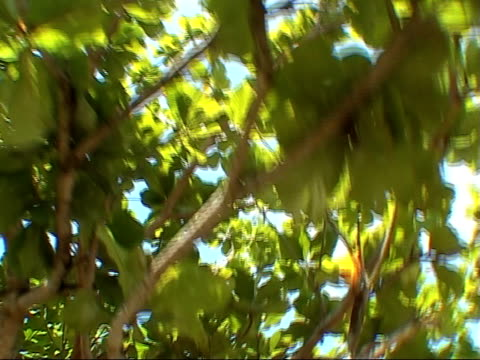 sky through the leaves - tropical tree stock videos & royalty-free footage