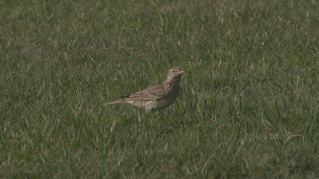 skylark (alauda arvensis) forages on disused airfield, essex, england - campo d'aviazione video stock e b–roll