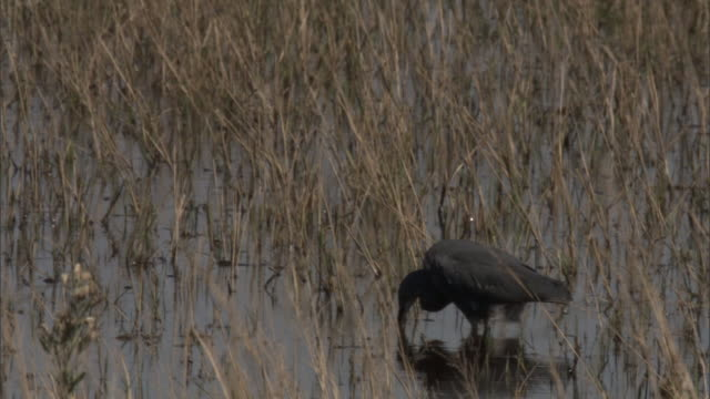 A slaty egret forages in a marsh. Available in HD.
