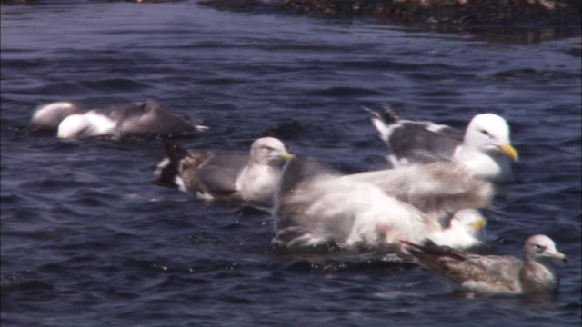 Slaty-backed gull in Hokkaido