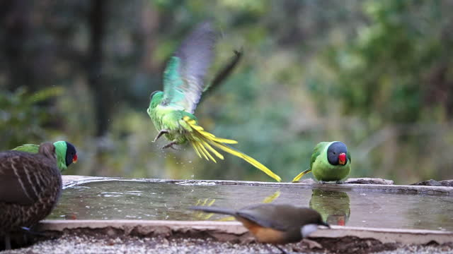 vídeos de stock e filmes b-roll de slaty-headed parakeets drinking water in a group and flying in slow motion - um animal