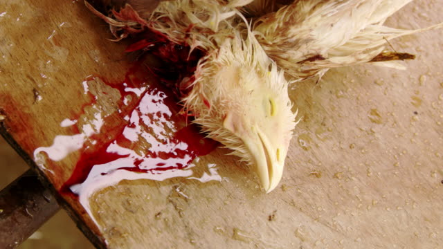 cu slaughtered chicken - killing stock videos & royalty-free footage