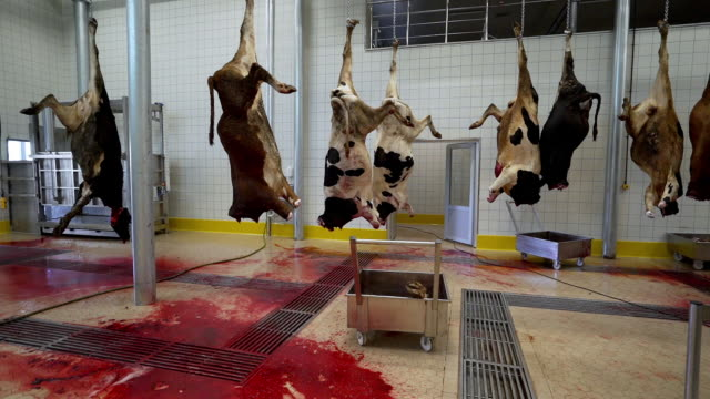 slaughterhouse - domestic cattle stock videos & royalty-free footage