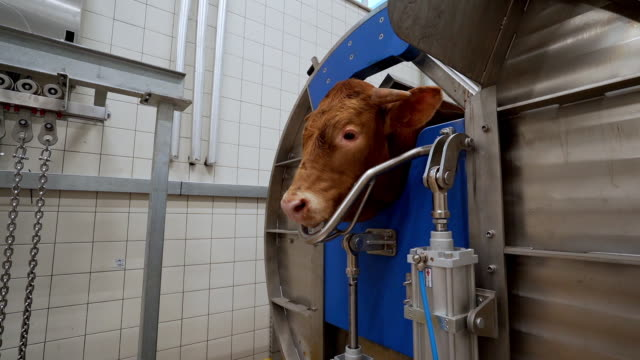 slaughterhouse - cattle stock videos & royalty-free footage