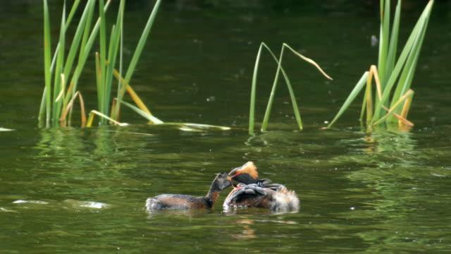 vídeos de stock e filmes b-roll de slavonian (horned) grebe (podiceps auritus) adult feeding it's chicks in water , scotland - grupo pequeno de animais