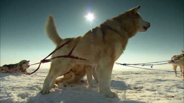 A sled dog excitedly wags its tail and howls.