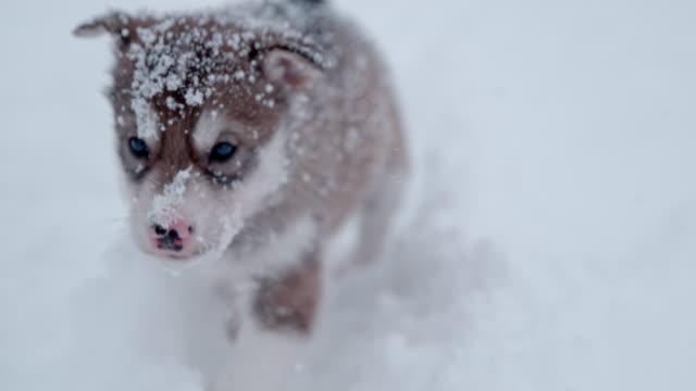SLO MO Sled dog puppy wading toward the camera