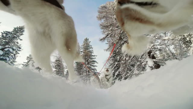 Sled dog racing in snow-covered coniferous forest