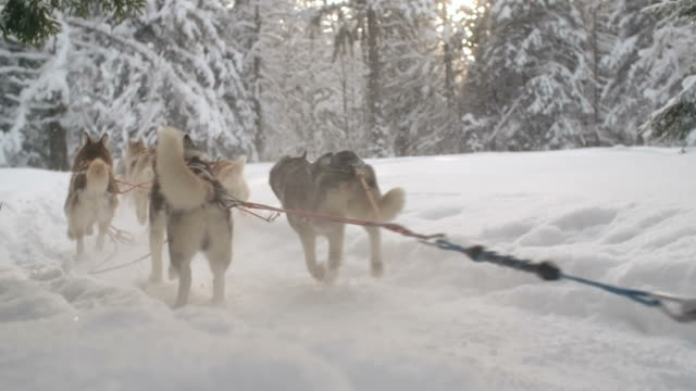 Sled dog racing in snowy woodland