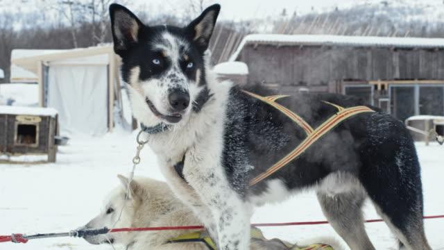 vidéos et rushes de ls traîneaux à chiens aux yeux bleus - chien de traîneau