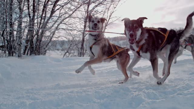 stockvideo's en b-roll-footage met slo mo sledehonden trekken een slee door de sneeuw - sledehond