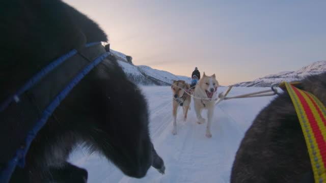 stockvideo's en b-roll-footage met slo mo sledehonden trekken een slee door de sneeuw - werkdier