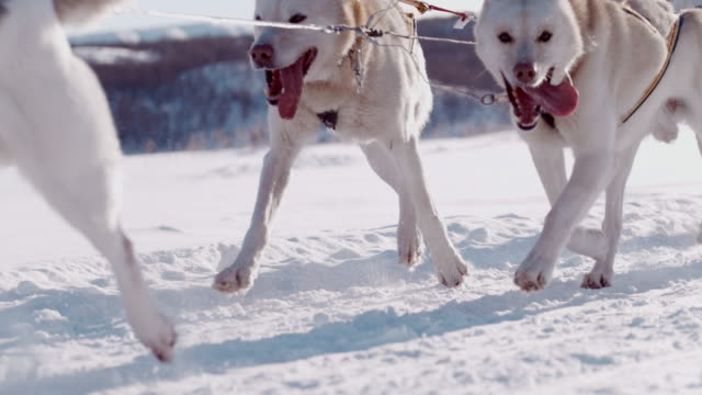 slo mo sled dogs racing through the snow - sled dog stock videos & royalty-free footage