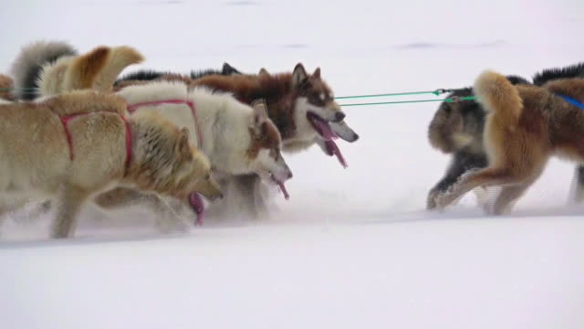 sled dogs running on snow in greenland - sledge stock videos & royalty-free footage