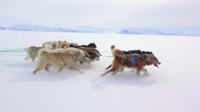 sled dogs running on snow in greenland - rassehund stock-videos und b-roll-filmmaterial