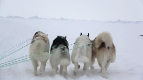 vidéos et rushes de sled dogs running on snow in greenland - chien de traîneau