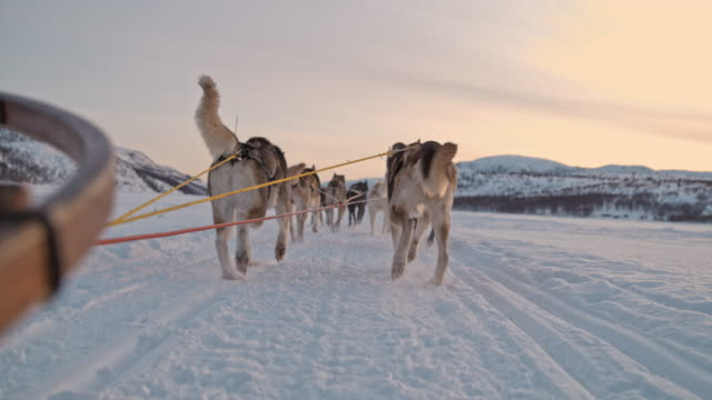 SLO MO POV Sled dogs running through the snow in Norway