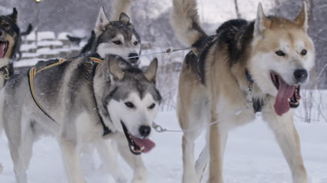 slo mo ms sled dogs running through the snow - husky stock videos & royalty-free footage