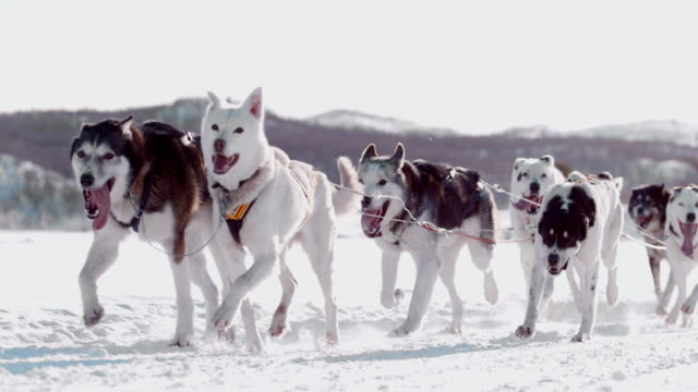 slo mo sled dogs running through the snow - sled dog stock videos & royalty-free footage