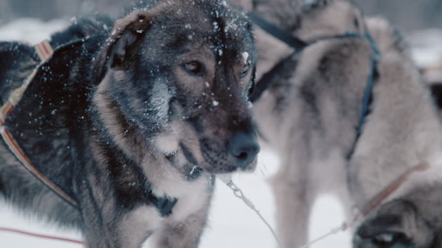 slo mo sled dogs waiting for a run - animal head stock videos & royalty-free footage