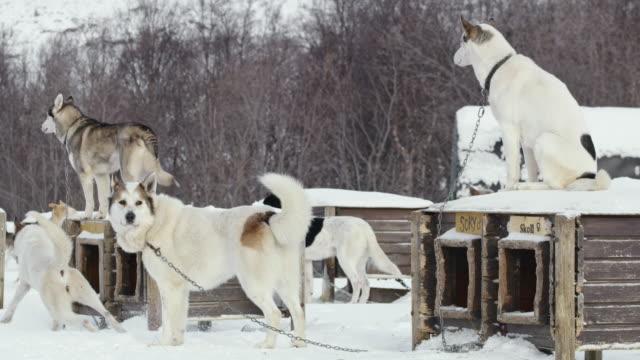 vidéos et rushes de huskies de ls traîneau à l'un des pavillons de traîneau à chiens de norvège - chien de traîneau