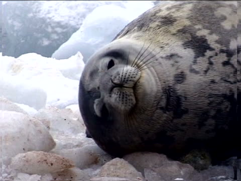 a sleeping adult seal - artbeats stock videos & royalty-free footage