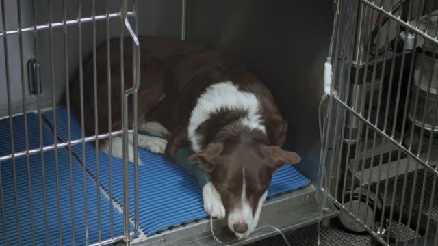 vídeos de stock e filmes b-roll de sleeping dog at the vet - paralisia