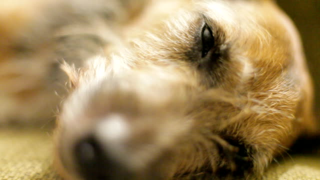 Sleeping dog close up