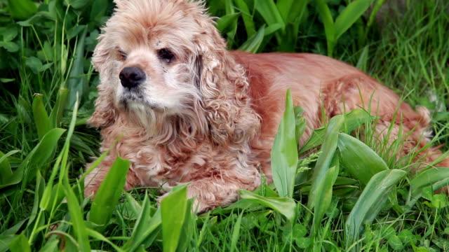 stockvideo's en b-roll-footage met slapende hond plotseling verhogen van zijn hoofd en snuffelen - suspicion