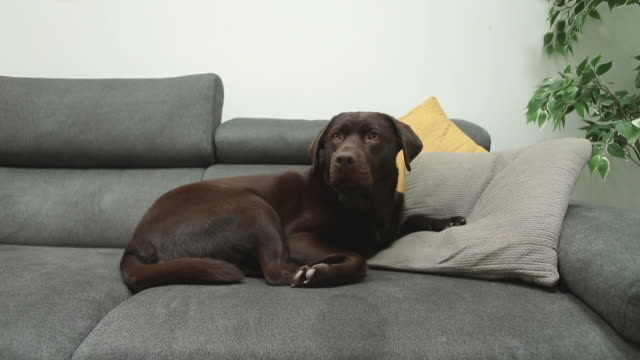 sleeping dog woken up and jumping off sofa - cushion stock videos & royalty-free footage