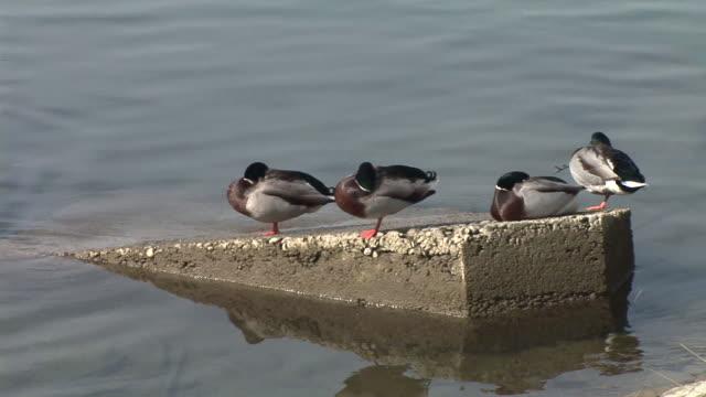 vidéos et rushes de hd : des canards - petit groupe d'animaux