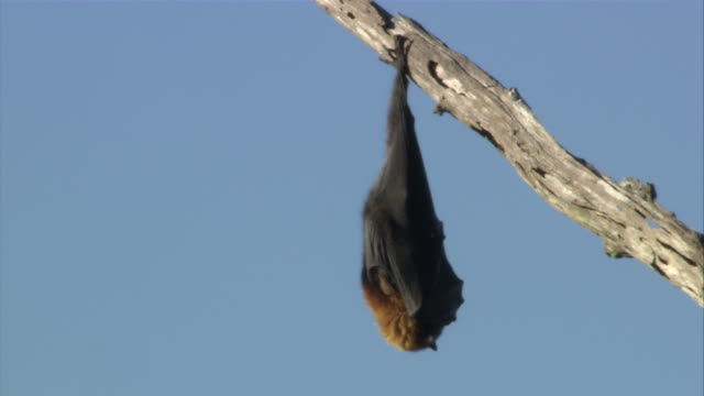 ms sleeping flying fox hanging upside down from branch / sydney , australia     - hanging stock videos & royalty-free footage
