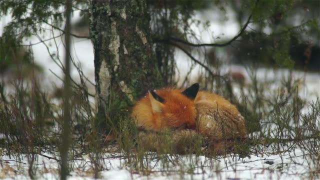 schlafender fuchs - animals in the wild stock-videos und b-roll-filmmaterial