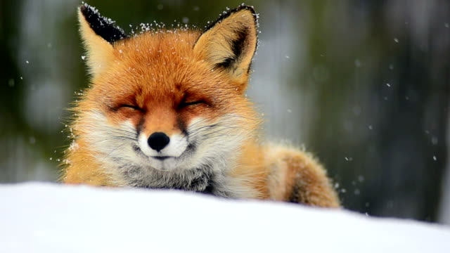 sleeping fox - snow stock videos & royalty-free footage