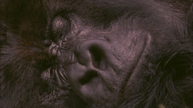 Sleeping gorilla opens eyes, Volcanoes National Park, Rwanda Available in HD.