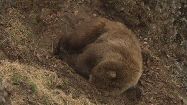 a sleeping grizzly bear is curled up in a small crevice on a steep hillside. - crevice stock videos & royalty-free footage