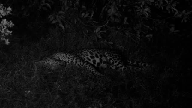 sleeping leopard, sri lanka. - sri lanka stock videos & royalty-free footage