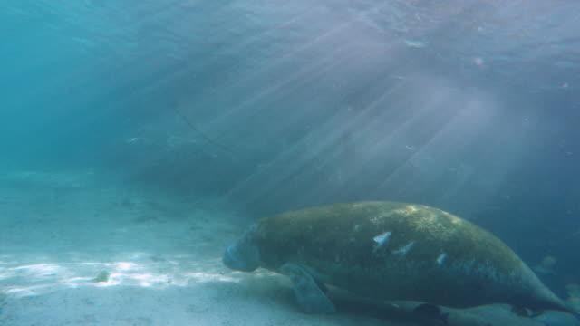 Sleeping manatee underwater ground get a sunshine