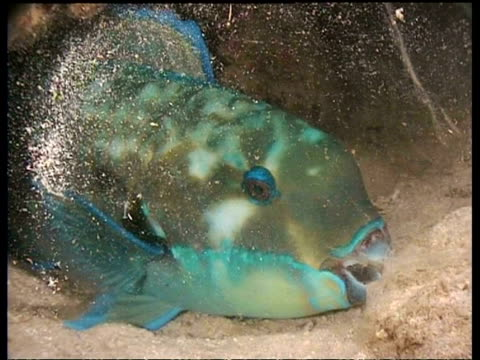 ms sleeping parrot fish in mucous nest - parrotfish stock videos & royalty-free footage
