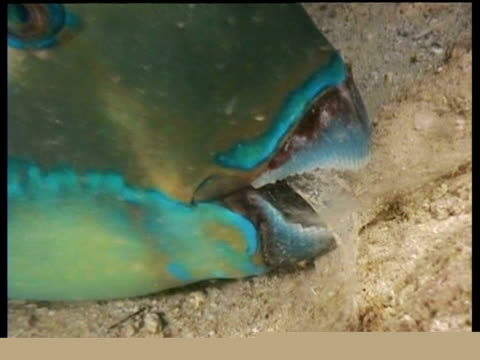 CU sleeping Parrot fish in mucous nest, zoom in and out