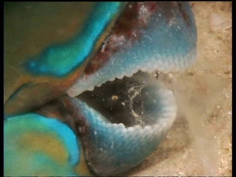 CU sleeping Parrot fish in mucous nest, zoom in