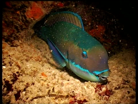 CU sleeping Parrot fish in mucous nest, zoom out