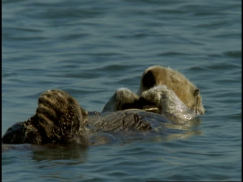 a sleeping sea otter floats on its back. - otter stock-videos und b-roll-filmmaterial