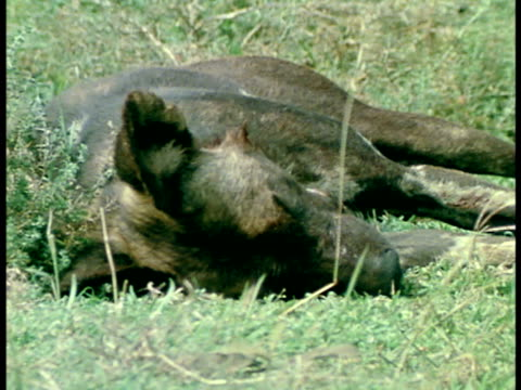 Sleeping Wild Dog CU Face of reclined Wild Dog MS Resting Wild Dog in profile