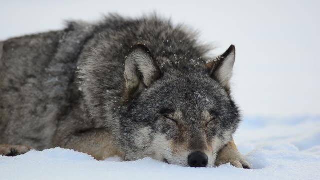 vídeos y material grabado en eventos de stock de lobo dormitorio - silvestre